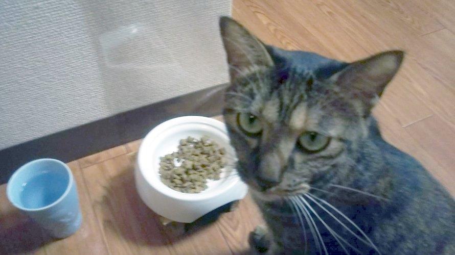 手からご飯がほしくてみつめる猫
