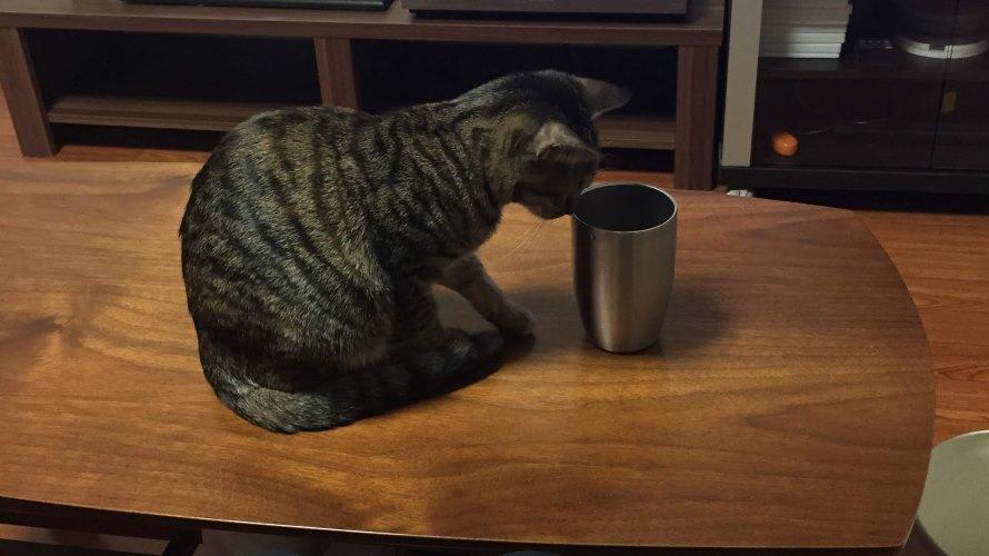 コップに興味を示す子猫