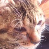 子猫の涙目・目の腫れは病院へ!愛猫ミコは猫風邪が原因だった