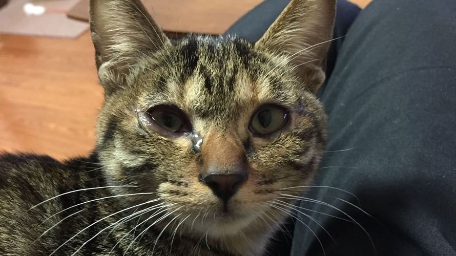 目が腫れた猫