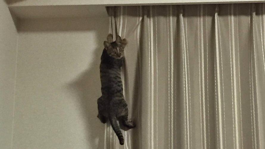 カーテンに登る子猫
