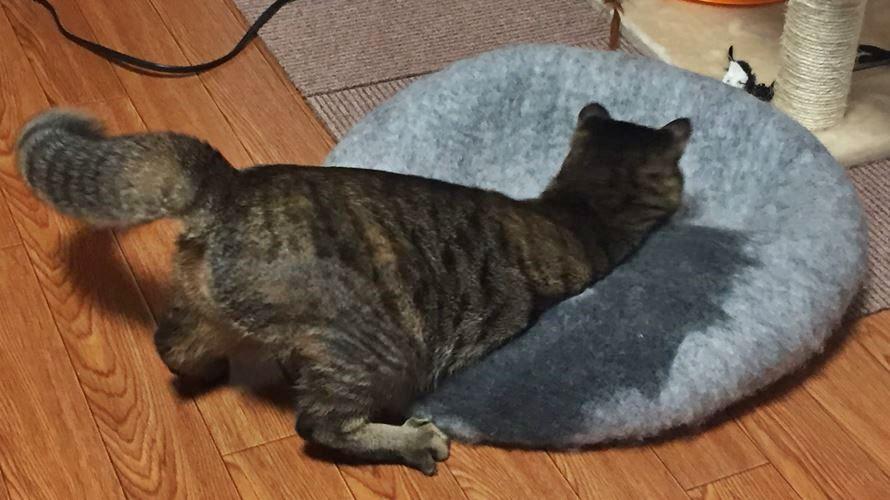猫ベッドで遊ぶ猫
