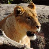 猫とライオンは似てる!?岩合光昭「ネコライオン」写真展の感想