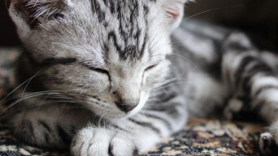映画ねことじいちゃんタマ役の猫ベーコンくんの種類は?
