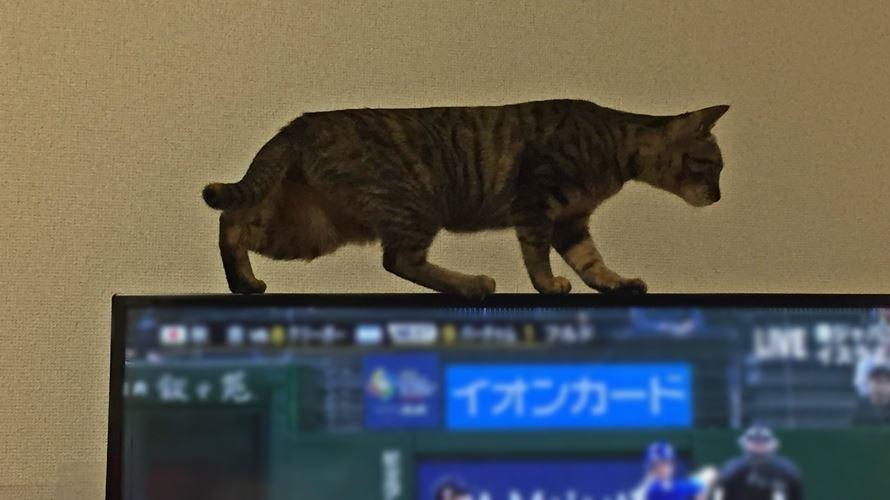 テレビに登るキジトラ猫