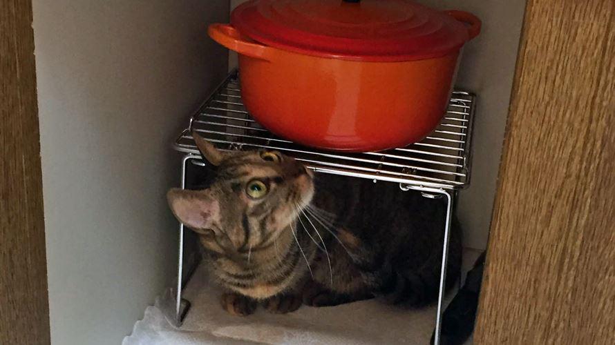 好奇心旺盛なキジトラ猫