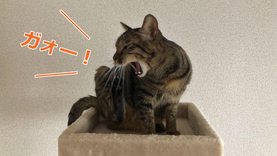 キジトラ猫のミコ