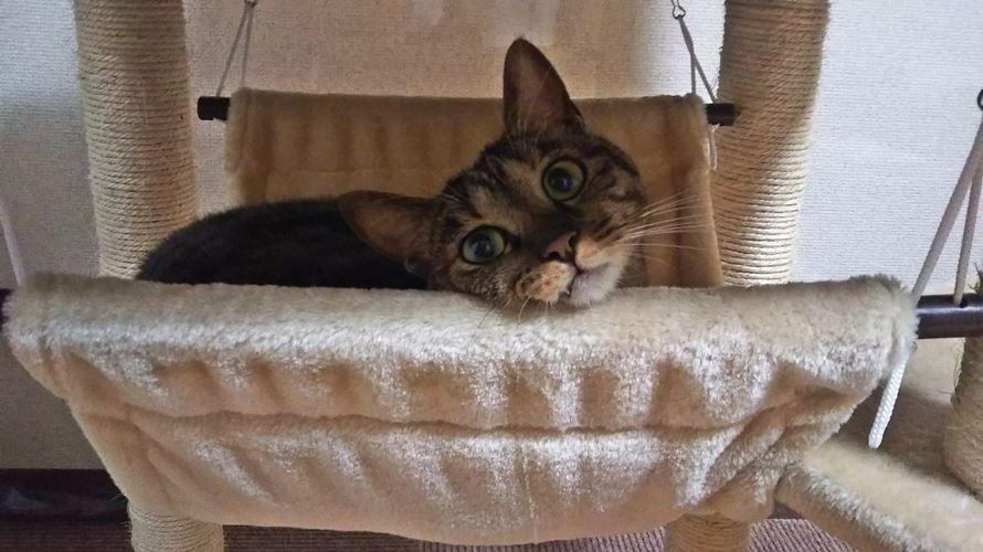 キャットタワーのハンモックに乗る猫