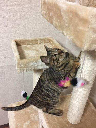 キャットタワーで爪をとぐ子猫