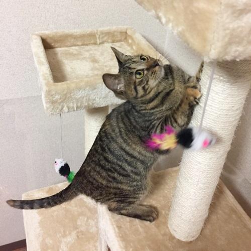 キャットタワーで爪を研ぐ子猫