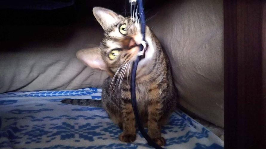 コードを噛む猫