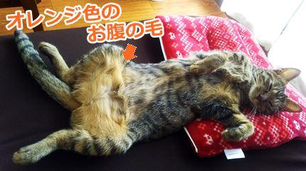 猫ミコオレンジ色のお腹の毛