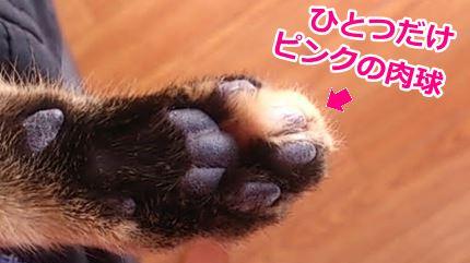 猫ミコひとつだけピンクの肉球