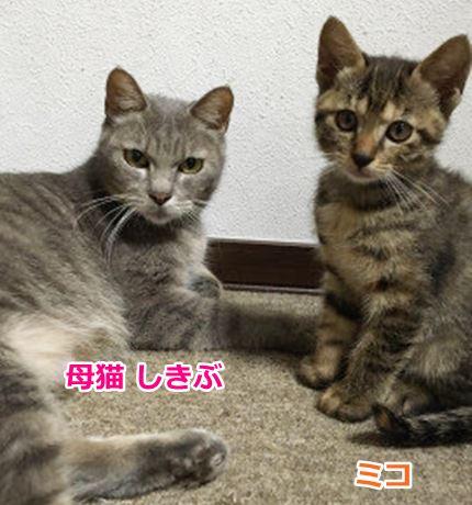 母猫しきぶさんとミコ