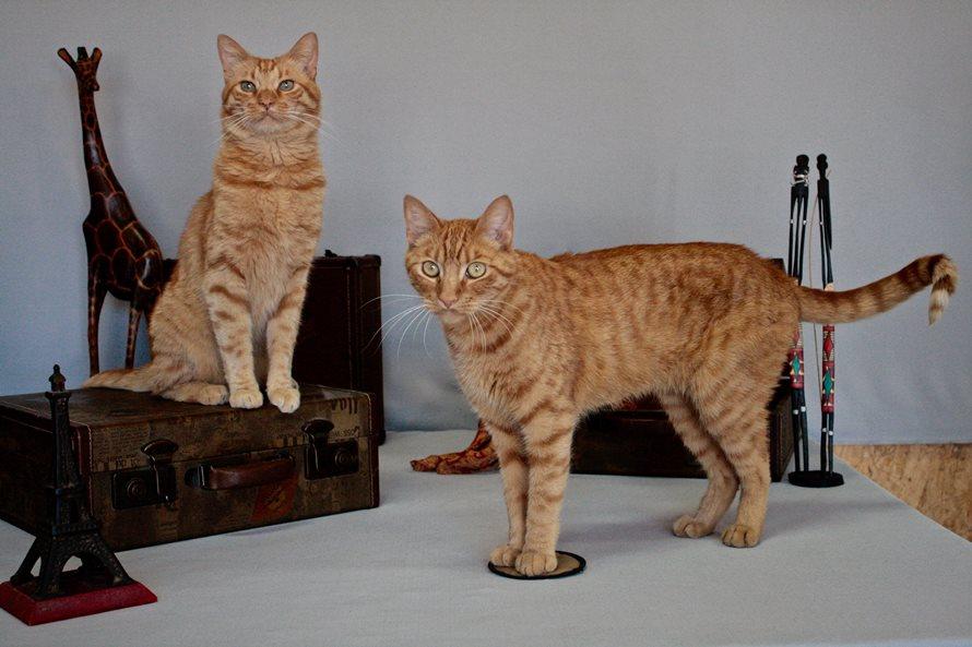 茶トラ猫レジーとアーチー